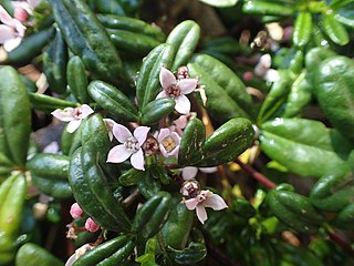 Zieria prostrata species of plant