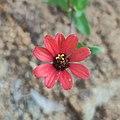 Zinnia peruviana in Guanajuato, Mexico.jpg