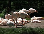 Zoo Landau Chile-Flamingos.JPG