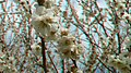 Zoomin-Plumblossoms-NearMountTakao-March20-2016-anaglyph.jpg