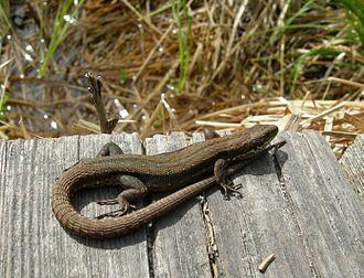 Zelenci - Viviparous lizard (Lacerta vivipara) on the trail