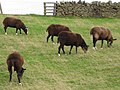 Zwartbles Sheep - geograph.org.uk - 1555830.jpg