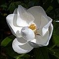 'Goliath' Magnolia grandiflora flower at Goodnestone Park Kent England 1 (cropped).jpg