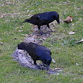 (1)crows Centennial Park-4.jpg