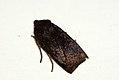 (2259) Dark Chestnut (Conistra ligula) (4045246927).jpg