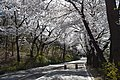 @ Namsan ,Seoul ที่นี่ซากุระก็สวยมากเช่นกัน - panoramio.jpg