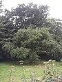 Æbletræ i haven ved mesterbolig ved Brede Værk.jpg