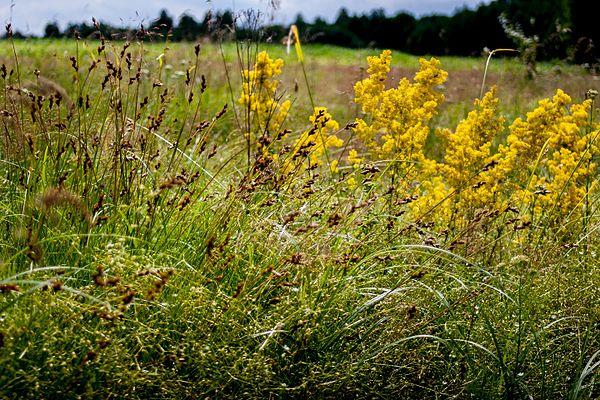 Ічнянський НПП луки. Фото: NativePlanting, CC BY-SA 4.0