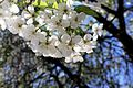 Вишневий цвіт.jpg