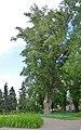 Віковий велетенський екземпляр тополі чорної, Дніпровський район Гідропарк.jpg