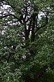Груша звичайна по Проспекту Перемоги, 123 у Києві. Фото 4.jpg