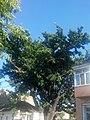 Дуб черешчатий, м. Херсон, вул. Декабристів,31.jpg
