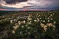 Крейдова флора, солодушка в останніх промінях сонця.jpg