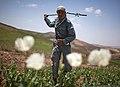 Маковая плантация в Афганистане.jpg
