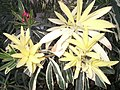 Неизвестный цветок в Шарм-эш-Шэйхе 03.jpg