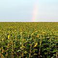 Подсолнухи и радуга - panoramio.jpg