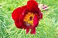 Піони - квітуча окраса ботанічного саду.jpg