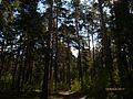 Сосновый лес,красоты лева.jpg
