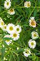 פרחים בישראל (69).JPG