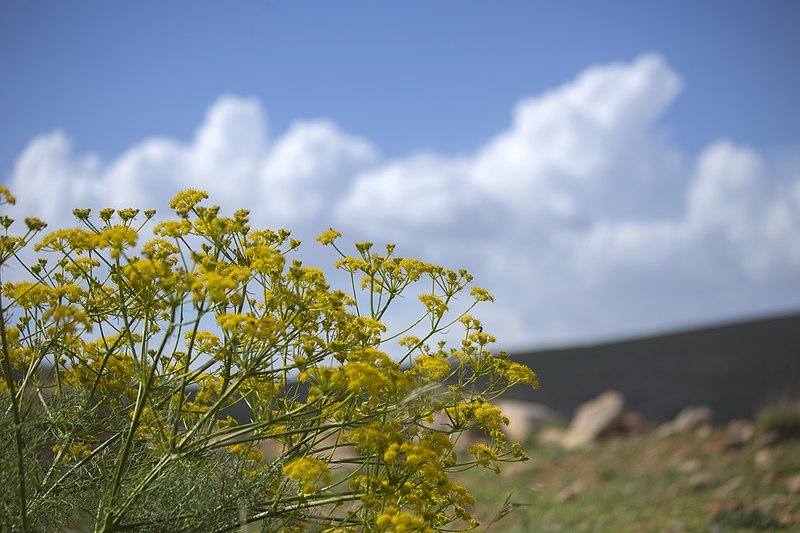 File:گلها و گیاهان دارویی، روستای خفر پادنا در ایران 32.jpg