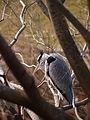 アオサギ(蒼鷺)(Ardea cinerea)(Grey heron) (7254285126).jpg