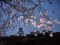 夜櫻 Night Sakura - panoramio.jpg