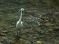 小白鷺 Egretta garzetta - panoramio (6).jpg