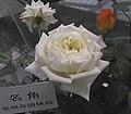 月季-名角 Rosa chinensis -瀋陽世博園 Shenyang Expo Gardens, China- (11237618624).jpg