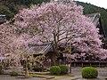 本善寺にて「懐の桜」 吉野町飯貝 Omoi-no-sakura 2013.4.01 - panoramio.jpg