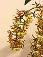 樹蘭屬 Epidendrum stamfordianum 'Galaxy' -台南國際蘭展 Taiwan International Orchid Show- (26080128147).jpg