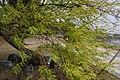 水柳 Salix warburgii - panoramio.jpg