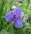 紫露草屬 Tradescantia × andersoniana -哥本哈根大學植物園 Copenhagen University Botanical Garden- (37020798291).jpg