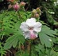 老鸛草屬 Geranium x cantabrigiense Biokovo -比利時 Leuven Botanical Garden, Belgium- (9229776912).jpg