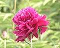 芍藥-墨紫含金 Paeonia lactiflora 'Dark Purple with Golden Traces' -瀋陽植物園 Shenyang Botanical Garden, China- (12380299683).jpg