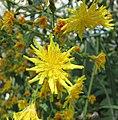 苦苣菜屬 Sonchus palmensis -比利時國家植物園 Belgium National Botanic Garden- (9213292381).jpg