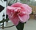 茶梅山茶雜交-九彎十八拐 Camellia (sasanqua x japonica) Egao Corkscrew -深圳園博園茶花展 Shenzhen Camellia Show, China- (14465934805).jpg