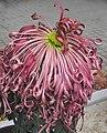 菊花-纓絡型 Chrysanthemum morifolium Pendant-tubular-series -香港圓玄學院 Hong Kong Yuen Yuen Institute- (9207628782).jpg