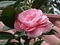 華東山茶-重瓣玫瑰型 Camellia japonica Double - Rose Form -香港公園 Hong Kong Park, Hong Kong- (14279559727).jpg
