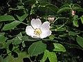 薔薇屬 Rosa kostrakiewiczii -波蘭 Krakow Jagiellonian University Botanic Garden, Poland- (35924538783).jpg
