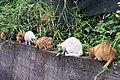 街貓 Stray Cats - panoramio.jpg