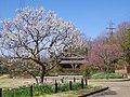 錦織公園 河内の里にて Kawachi-no-sato 2013.3.15 - panoramio.jpg