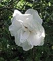 雜交玫瑰 Rosa Ritausma -波蘭華沙 Powsin PAN Botanical Garden, Warsaw- (45732238985).jpg