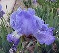香根鳶尾 Iris pallida -巴黎植物園 Jardin des Plantes, Paris- (9198184371).jpg