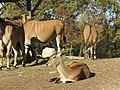 - ITALY - antilope alcina (Taurotragus oryx) - Parco Natura Viva - Verona 2.jpg