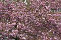 - Prunus serrulata 03 -.jpg