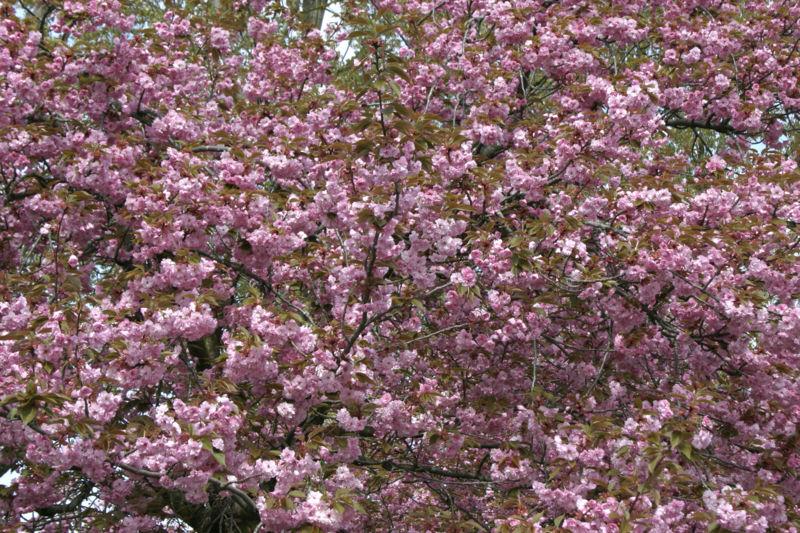 File:- Prunus serrulata 03 -.jpg