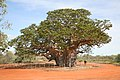 00 2016 Great Northern Highway (Western Australia) - Giant Boab Tree (ein riesiger Baum).jpg