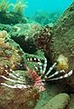 03-EastTimor-Dive K-41 040 (Lion Fish)-APiazza.JPG