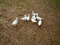 0358jfLands Culianin Ducklings Plaridel Cattle Fieldsfvf 10.JPG