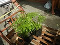 0998Ornamental plants in the Philippines 73.jpg